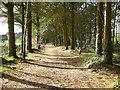 SW6543 : Pine Walk in Tehidy Park by Philip Halling