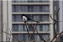 TQ3880 : Urban Magpie (Pica pica), North Greenwich by Mike Pennington