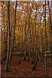 TQ1661 : Beech woodland in Great Oaks, Oxshott by Mike Pennington