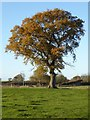 SO8937 : Oak tree in autumn by Philip Halling