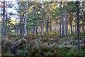 NH9022 : Woodland with heather, Carrbridge by Jim Barton