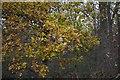 SK9625 : Oak Leaves by Bob Harvey