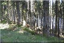 NS1393 : Conifers above Loch Eck by Richard Webb