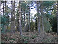 TG1625 : Evergreen trees and thick underbrush by Adrian S Pye