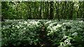 SE8149 : Wild garlic, Pocklington Wood by Colin Park