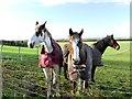 SE7701 : Trio of horses at Laburnum Farm by Graham Hogg