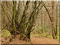 NH6455 : Ancient tree system in Bellton Wood : Week 49