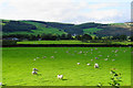 SJ0337 : Sheep in the Dee Valley by Bill Boaden
