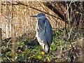 SK3934 : Heron by a lake by Ian Calderwood