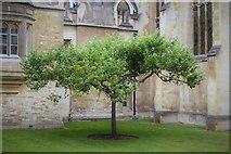 "TL4458 : ""Newton's"" Apple tree by N Chadwick"