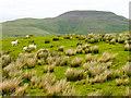 NT8018 : Tufts of rushes on grassy hillside by Trevor Littlewood