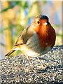 SJ3966 : Robin alongside the River Dee by John S Turner