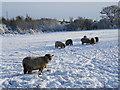 SJ9303 : Sheep in a snowy field at Northycote Farm : Week 50
