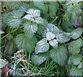 TG3006 : Frosted nettles by Evelyn Simak