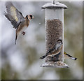 TQ2995 : Goldfinches Feeding in the Snow by Christine Matthews
