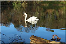 NS2209 : Swan at Culzean Country Park by Billy McCrorie