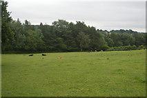 TQ3130 : Cattle near Ardingly Reservoir by N Chadwick