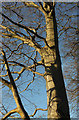 SX9065 : Beech near Torbay Hospital by Derek Harper