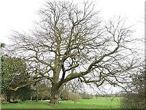 SE5158 : Beningbrough Hall, large tree by Stephen Craven
