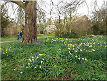 SE5158 : Beningbrough Hall, daffodils and bluebells by Stephen Craven