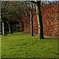 SK5940 : Beech hedge by Alan Murray-Rust
