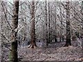 TQ7920 : Interior of Norway spruce plantation, Brede High Woods by Patrick Roper