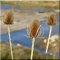 SK6143 : Three teasels by Alan Murray-Rust