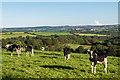 SW7124 : Cattle at Trelowarren by Ian Capper