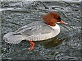 NY4053 : Goosanders don't like peas by Rose and Trev Clough