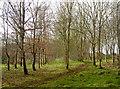 ST7361 : Neatly arranged saplings by Neil Owen