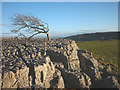 SD5579 : Windswept tree, Newbiggin Crags by Karl and Ali