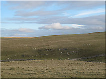 SD8965 : Sheep on the moor above Malham Tarn  by Stephen Craven