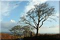 SX9475 : Beech trees, Holcombe Down Road by Derek Harper