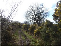 SX7283 : Gorse by the lane north-east of Langdon by David Smith