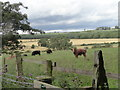 NZ0755 : Grazing cattle by Robert Graham