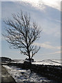 NY8454 : Tree near Scotch Halls : Week 6