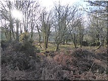 SX7581 : Scrubby woodland in Neadon Cleave by David Smith