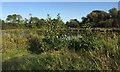 SP2964 : Alder seedlings by Kingfisher Pool, Myton Fields, Warwick by Robin Stott