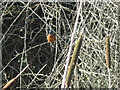 NT2475 : Royal Botanic Kingfisher by M J Richardson