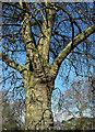 ST5975 : London plane, St Andrew's Park, Bristol by Derek Harper