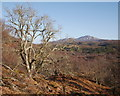 NH2961 : Oak tree, Grudie oakwood by Craig Wallace