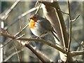 SX1161 : Robin at Restormel by Rob Farrow