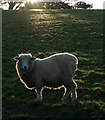SX9575 : Sheep near Holcombe : Week 9