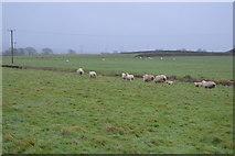 SX9886 : Sheep grazing by N Chadwick