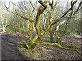 SE1211 : Unhappy tree, Honley Old Wood by Humphrey Bolton