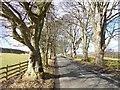 NY8383 : Avenue of trees near Bellingham by Oliver Dixon