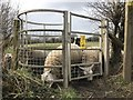 SJ7949 : Sheep-infested kissing gate by Jonathan Hutchins