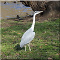 TQ2979 : Grey heron, St James's Park by Rudi Winter
