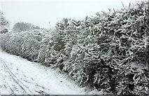 SX9065 : Snowy hedge, Cricketfield Road, Torre by Derek Harper