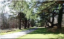 J3532 : Himalayan Cedars lining the Main Drive at Tollymore by Eric Jones